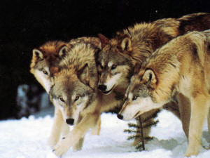 Wolf-Pack-the-descendants-of-the-great-alpha-wolf-29734423-700-525